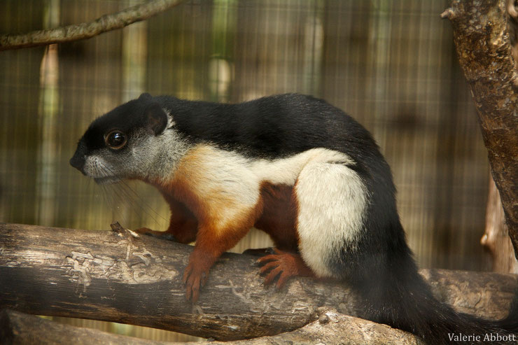 ecureuil arboricole de prevost fiche animaux mammiferes animal facts prevost squirrel