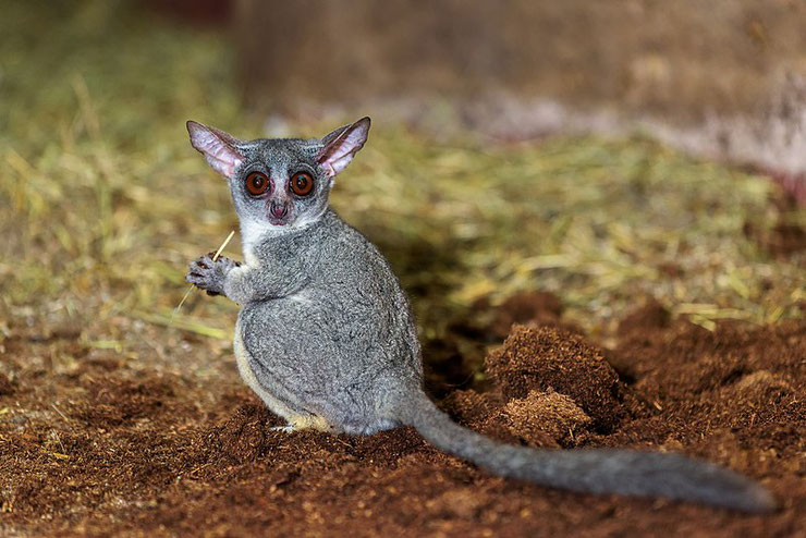 galago du senegal fiche animaux mammiferes bushbaby animal fact