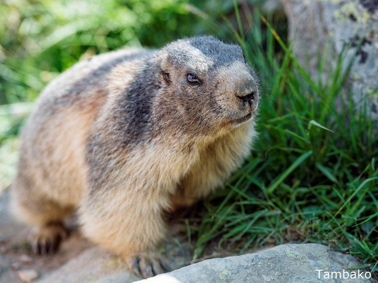liste des animaux qui hibernent hivernent marmotte hibernation