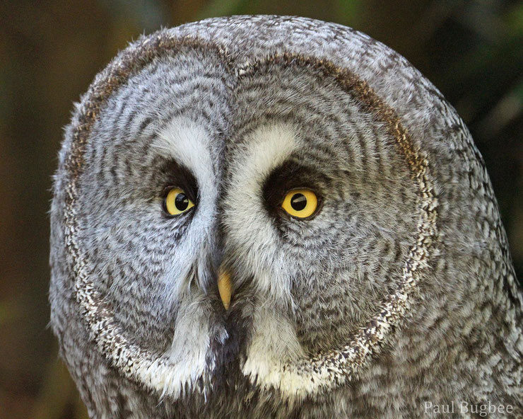 animaux canada quebec chouette lapone great grey owl