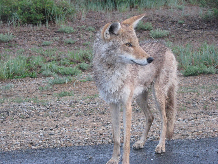 fiche animaux animal le coyote