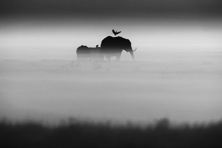 elephant oiseau laurent baheux