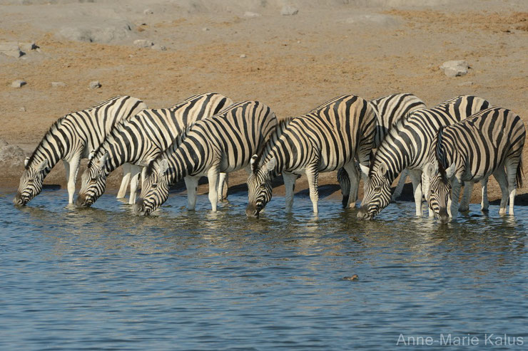 liste animaux a rayures zebre zebres