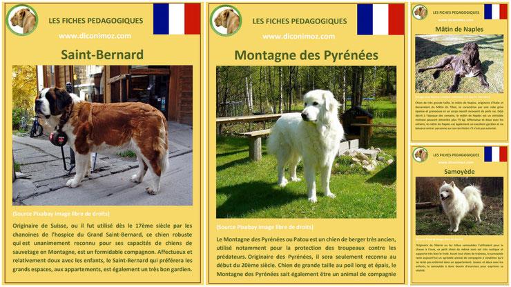 fiche animaux animal de compagnie  chien à telecharger et a imprimer pdf comportement origine caractere race saint bernard montagne des pyrenees patou matin de naples samoyede