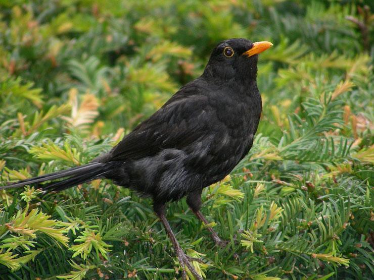 les oiseaux de nos jardins le merle noir
