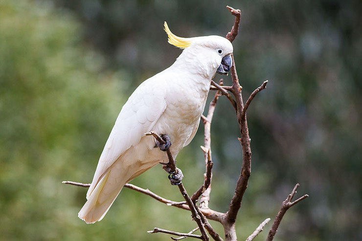 fiche oiseaux cacatoes à huppe jaune cacatua galerita alimentation reproduction