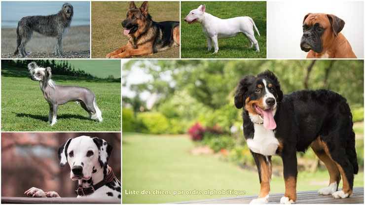 Liste des races de chiens par ordre alphabétique de A à Z