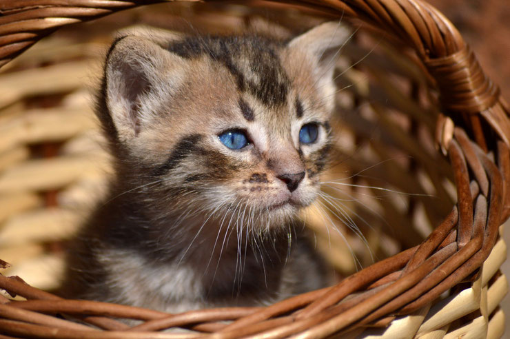 chaton chatons photo animaux mignon cute cat kitten blue eyes yeux bleus hd