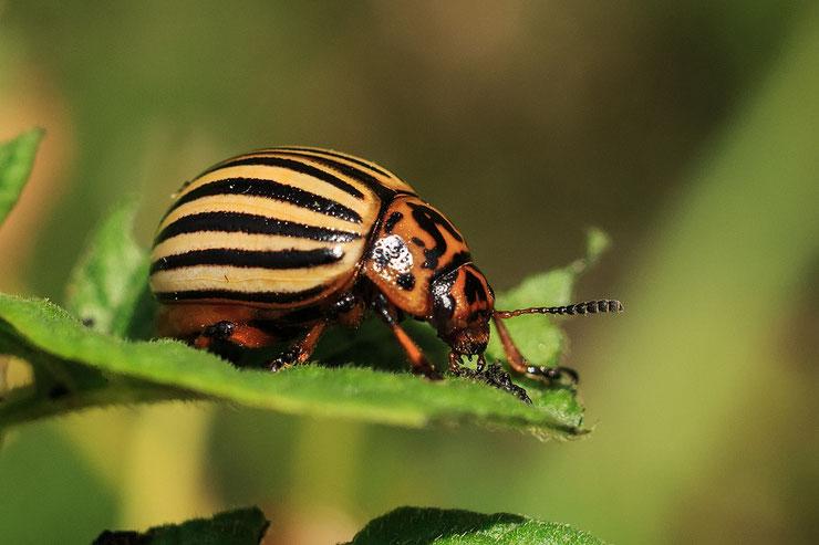 doryphore fiche insecte animaux