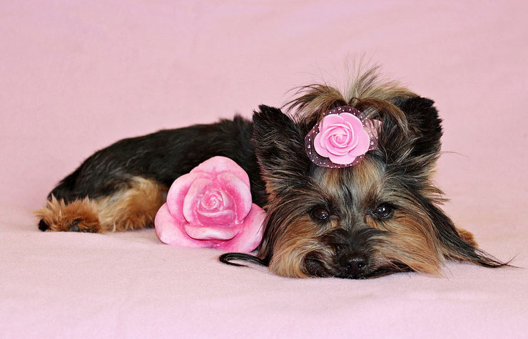 fiche chien yorkshire terrier fact dog animaux de compagnie cute