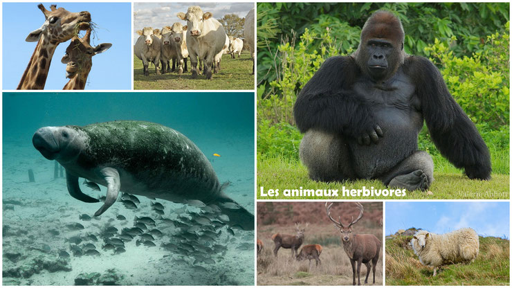 animaux herbivores