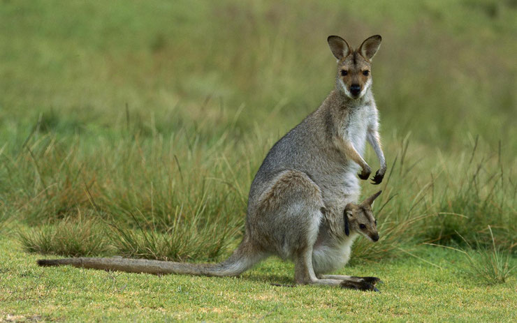 definition endémique kangourou animal  australie