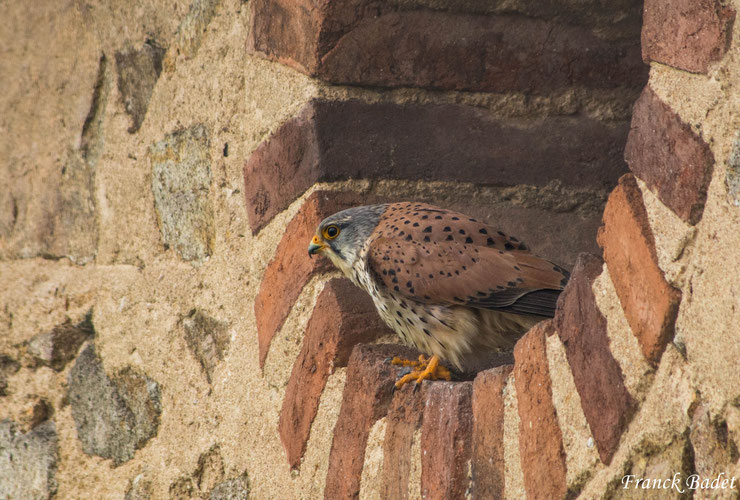 faucon crecerelle fiche oiseaux animaux campagne