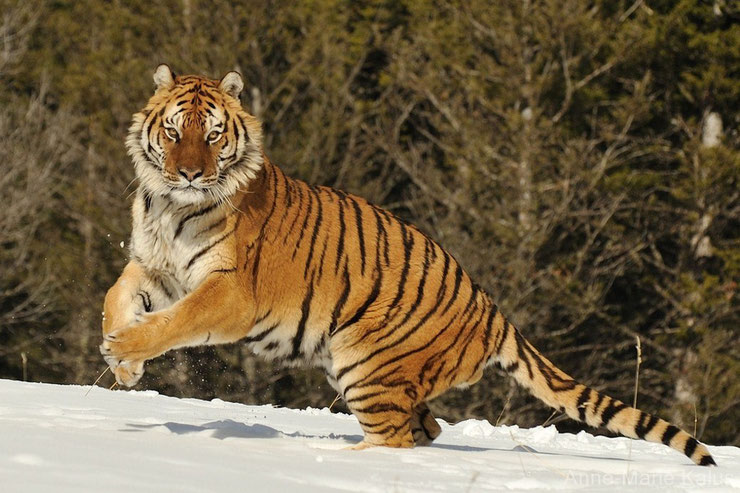 tigre de siberie dans la neige siberian tiger in the snow