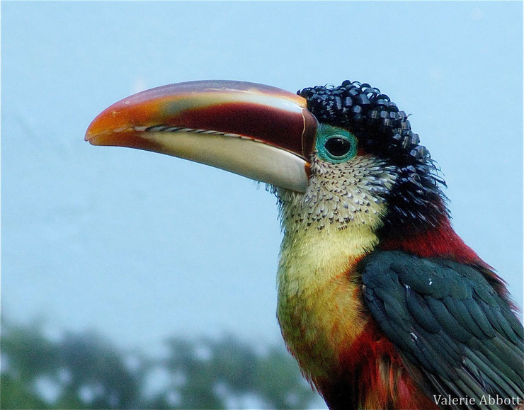 fiche oiseaux aracari de beauharnais animaux animals fact bird curl crested