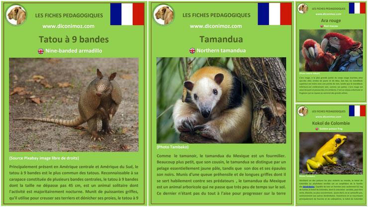fiche animaux amazonie à telecharger et a imprimer pdf taille poids habitat longevite alimentation predateur tatou 9 bandes tamandua ara rouge kokoi de colombie