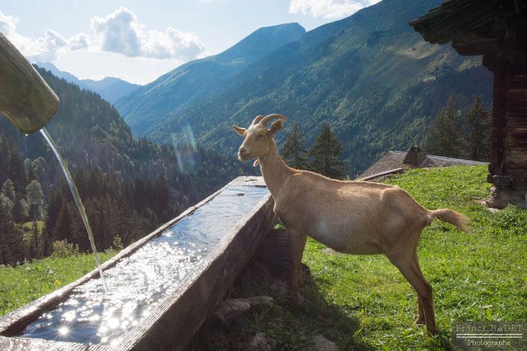 chevre lindarets tourisme haute savoie montagne