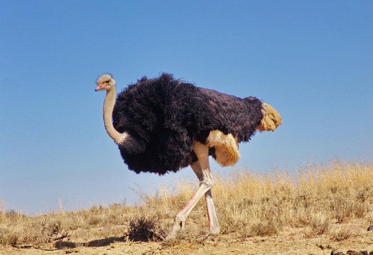 plus grand gros oiseaux du monde autruche