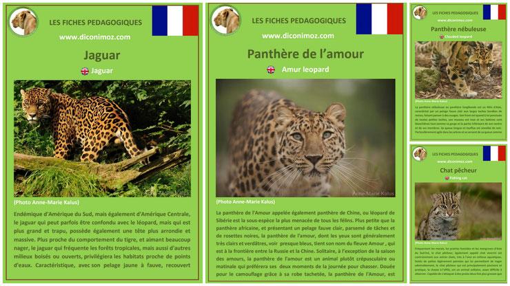 fiche animaux les félins à telecharger et a imprimer pdf habitat taille poids reproduction alimentation jaguar panthere nebuleuse longibande panthere de l'amour chat pecheur