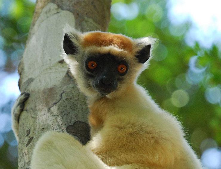 propitheque couronne doree lemur fiche animaux madagascar comportement poids taille habitat