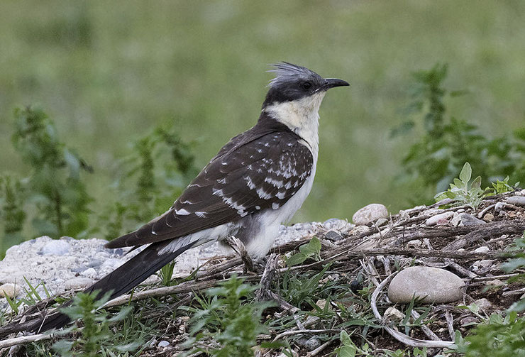 coucou geai fiche animaux oiseaux animal facts bird great spotted cuckoo