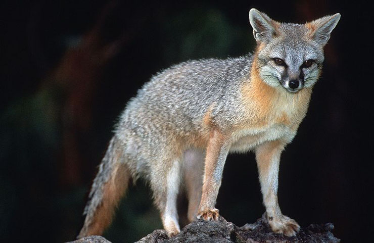 animaux canada quebec renard gris grey fox