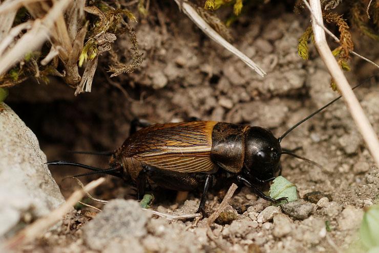 grillon champetre fiche insecte animaux de nos jardins