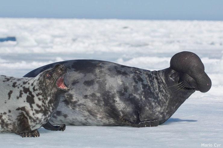 phoque à capuchon fiche animaux mammiferes marins habitat alimentation  reproduction taille poids