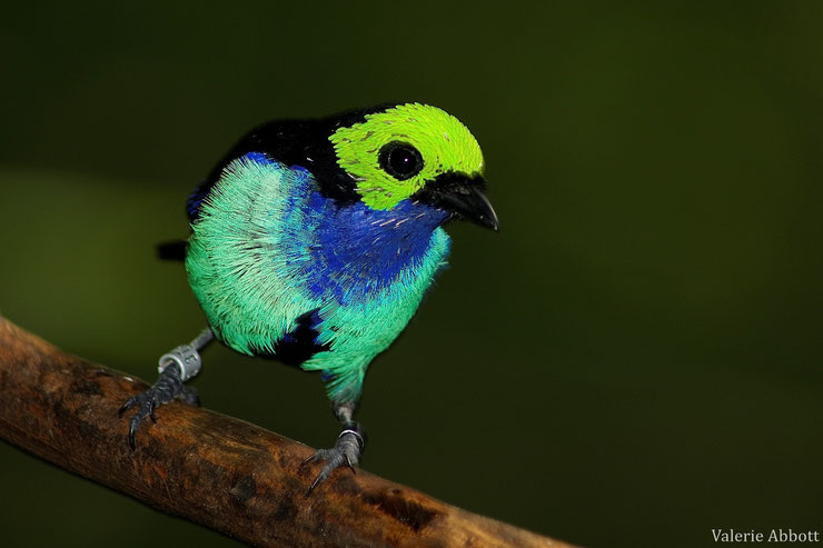 calliste septicolore tanger de paradis fiche animaux oiseaux  animal facts bird paradise tanager