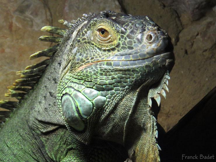 liste des animaux d'amazonie iguane vert