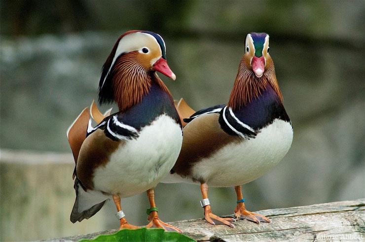 canard mandarin fiche oiseaux animaux animals fact bird duck
