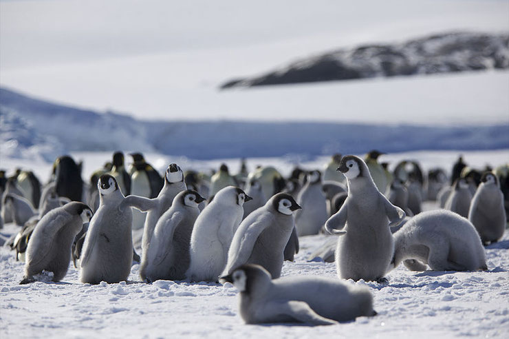manchot empereur bebe dans la neige sur la banquise antarctique pingouins