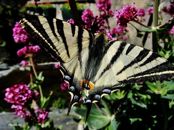 animaux a rayures papillon flambé
