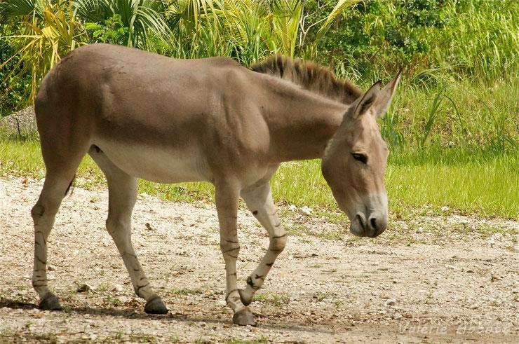 ane de somalie animaux afrique equides ethiopie herbivore