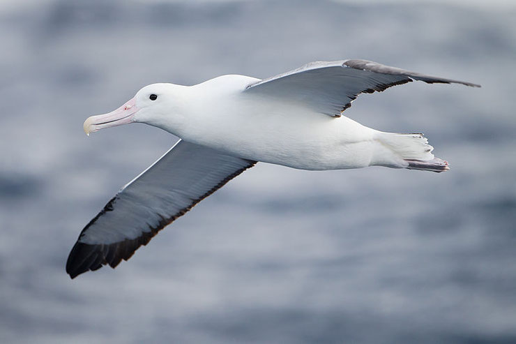 les animaux de la banquise et des cercles polaires pole sud nord arctique antarctique albatros