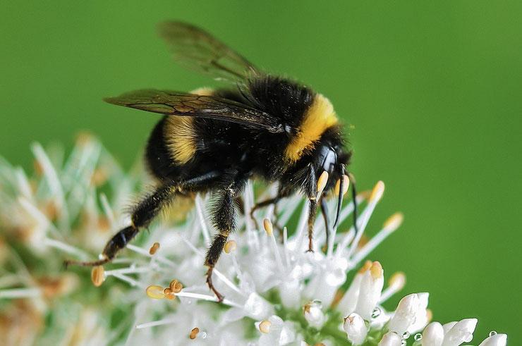 bourdon terrestre fiche insecte animaux
