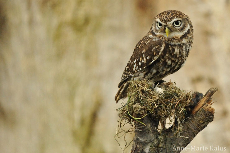 cheveche athena fiche oiseaux rapace poids taille habitat longevite alimentation