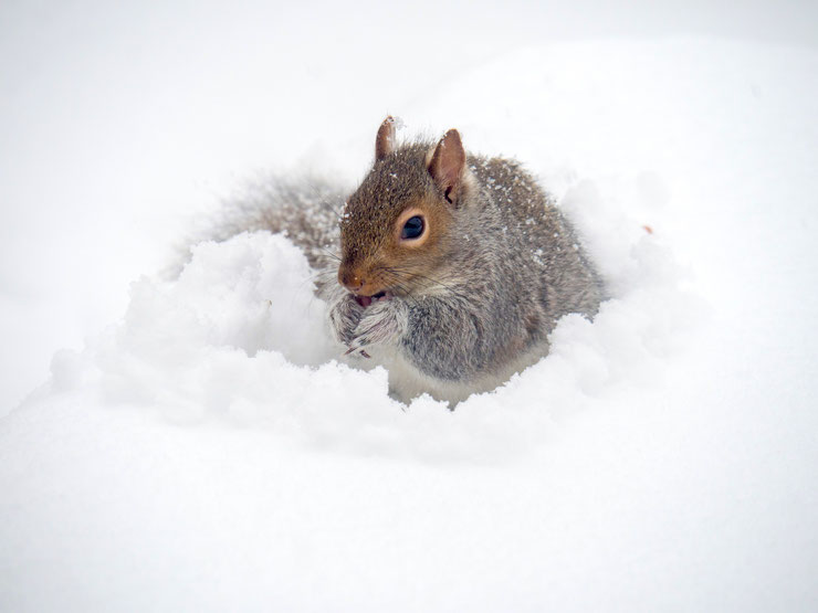 ecureuil gris animaux dans la neige grey squirrel in the snow