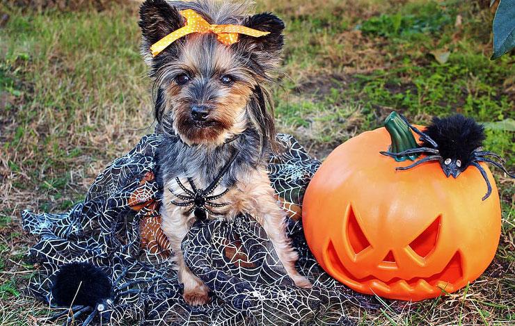 yorkshire terrier araignee halloween pumpkin