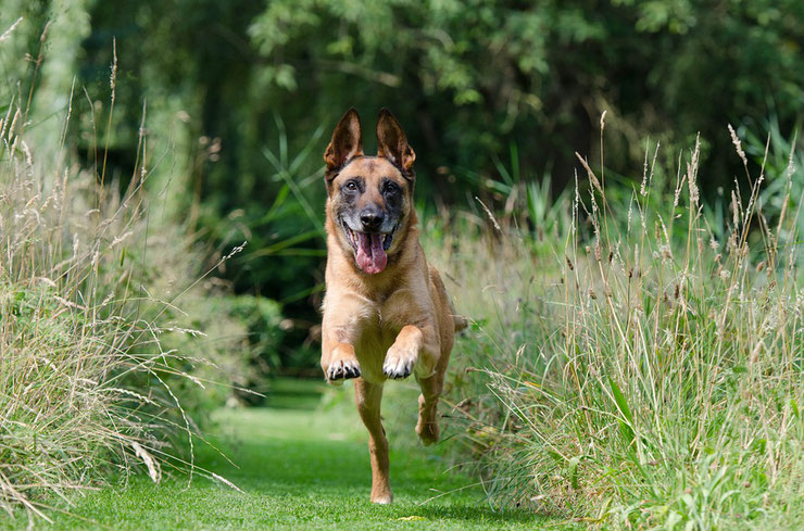 berger belge malinois courant