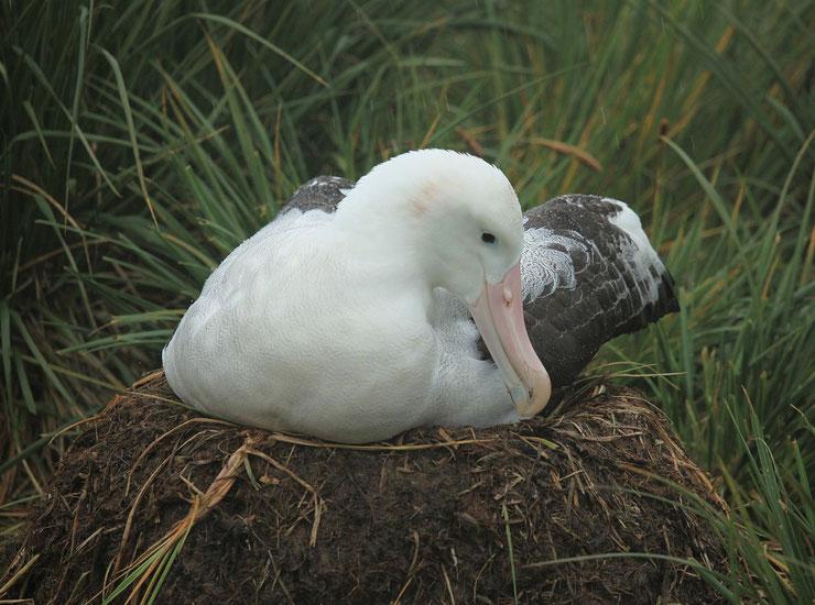 albatros hurleur fiche animaux oiseaux par A taille poids distribution habitat