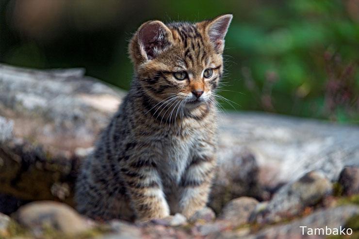 bebe animaux chat sauvage mignon cute wildcat cat animals cub
