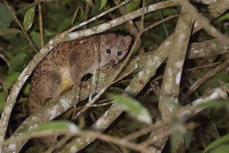 nandinie afrique fiche animaux   taille poids alimentation reproduction