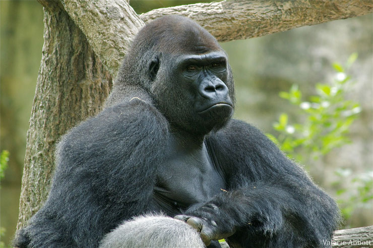 animaux noirs gorille singe thematique