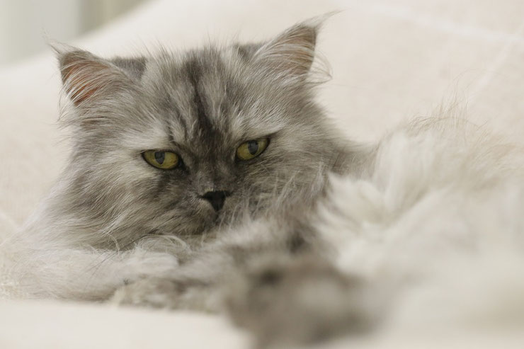 persan fiche identite chat caractere comportement animal fact cat persian
