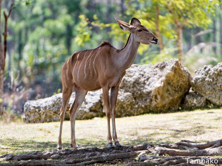 bongo animal fact fiche animaux pedgogique bovides afrique