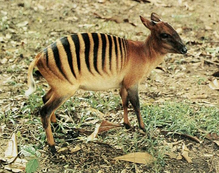 cephalope zebre fiche animaux afrique zebra duicker animal facts