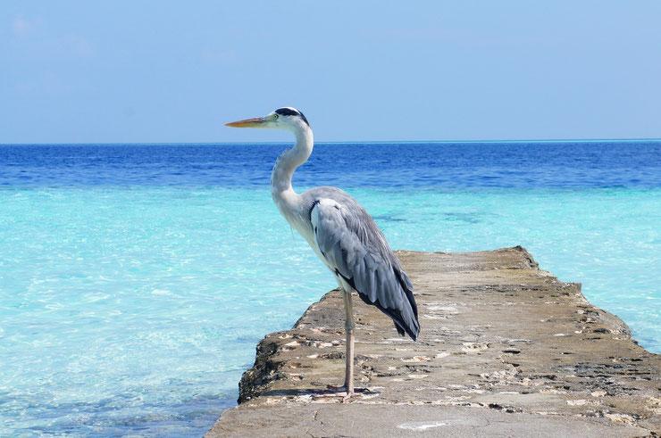 heron cendre poids taille habitat distribution fiche oiseaux animaux