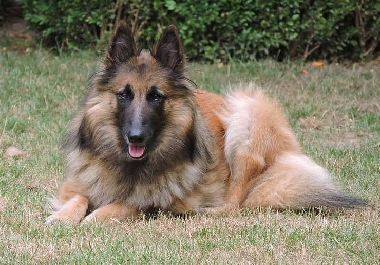 tervueren berger belge fiche chien animaux caractere comportement origine poil couleur