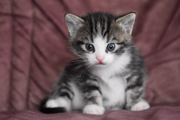 bebe chaton chat de race adorable mignon photo hd yeux bleux